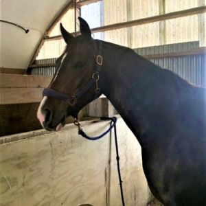 Horse for sale: Stunning young Centavos mare