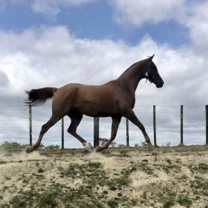 Horse for sale: Anglo Arab