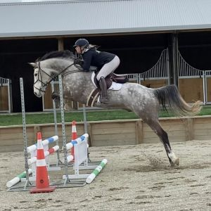 Horse for sale: Stunning Young Cassiano Gelding
