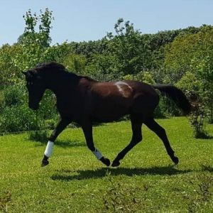 Horse for sale: PRICE DROP – Rising 4 year old Warmblood X Gelding by GT Jake