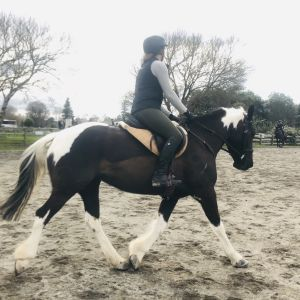 Horse for sale: Striking pinto