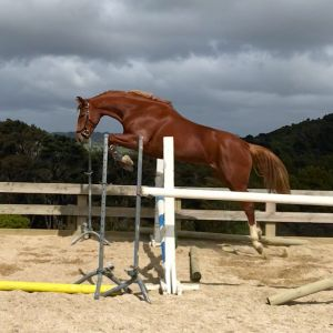 Horse for sale: Half-sister to World Cup Showjumper - Your next superstar