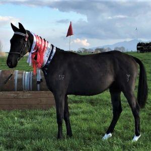 Horse for sale: **QUALITY BRED BALOU DE ROUET COLT**