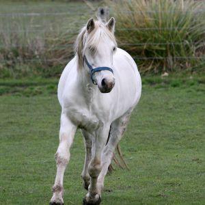 Connemara Pony Stallion