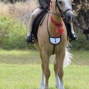 Experienced Super Lead Rein/First Ridden Welsh Pony