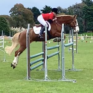 Horse for sale: All Rounder Pony   (Price reduced) Billy Maaka Mangatu pony bred