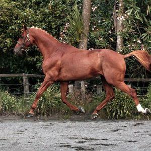 Stallion at Stud  - Remi Lion King