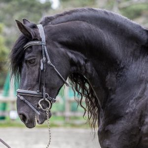 Friesian Stallion at Stud - Crystal Mt Xodo (Sport Elite & Gold Elite)