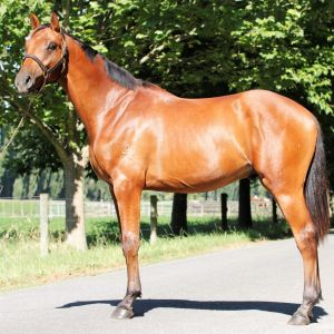 Stallion at Stud - Bellhaven Cato VWNZ