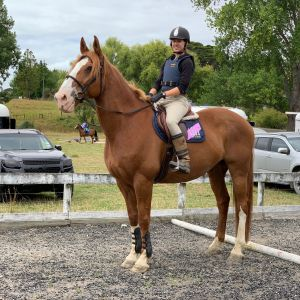 Horse for sale: Kind, talented Clydie cross 17.2hh