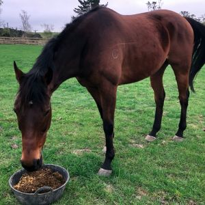 Horse for sale: Bay Tb gelding