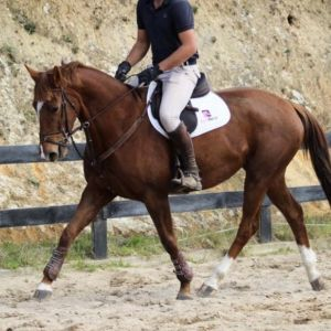 Beautiful, intelligent and brave DREAM BOY HANOVERIAN MARE