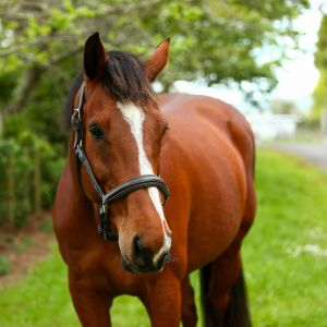 Horse for sale: Proven Broodmare: Easy Breeder and Beautiful Type by Prestige VDL