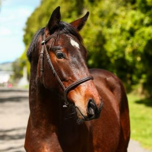 Presence and Personality - Beautiful Bred Sport Horse