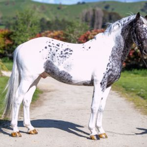 Horse for sale: Pintaloosa Stallion