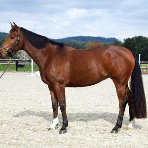 SJ mare in foal to Chacco Silver