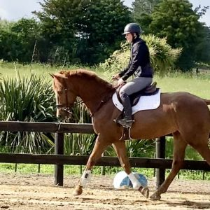 Horse for sale: Promising 5yo Warmblood Gelding