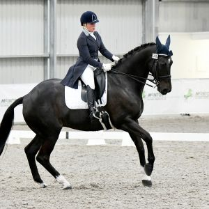 Horse for sale: Competitive FEI Dressage Gelding
