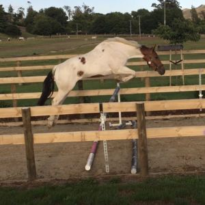 Horse for sale: Gorgeous crossbred gelding