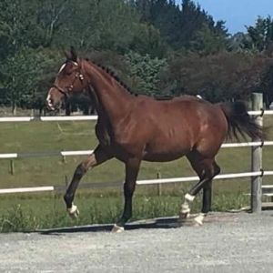 Horse for sale: Talented Warmblood Yearling