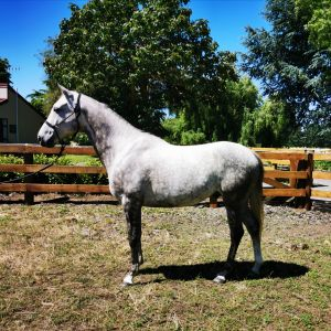 Horse for sale: Hyforce SFW Blue Fahntom