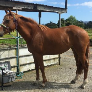 Horse for sale: Lovely young all rounder