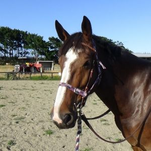 Horse for sale: San Mateo X Clyde