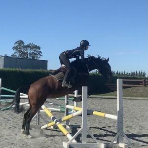 Horse for sale: Stella Warmblood X mare 5yrs