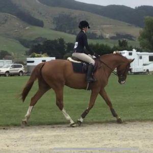Horse for sale: Stunning Young Gelding
