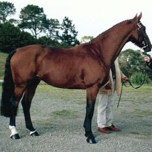 Horse for sale: Warmblood stallion for sale