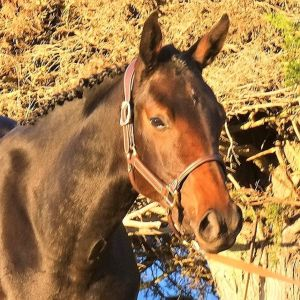 Top Quality Purpose Bred Performance Horse