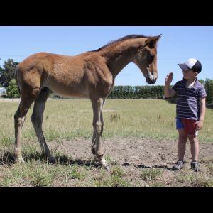 Horse for sale: Colt Warmblood Tb