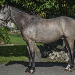 Horse for sale: Highbridge Dream Catcher