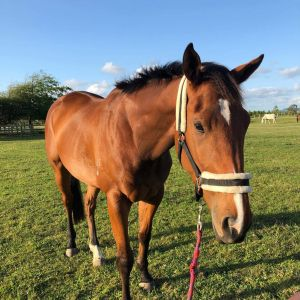 Horse for sale: Tb broodmare.