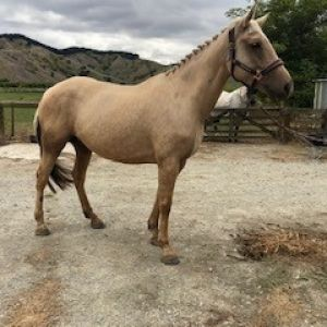 Horse for sale: Lovely Palomino Mare
