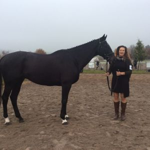Horse for sale: Stunning Black TB Gelding