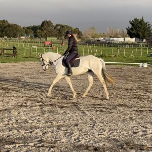 Horse for sale: Stunning AndalusianX Mare