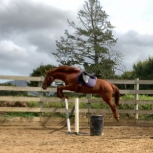 Horse for sale: talented horse