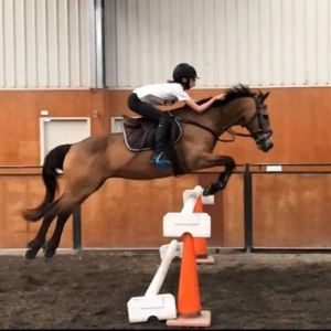 Horse for sale: SCHOOL MASTER ALL ROUNDER