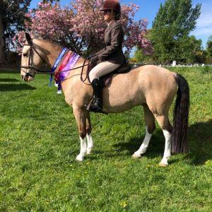 Stunning Buckskin Full height Pony