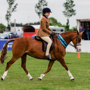 Horse for sale: Promising warmblood pony