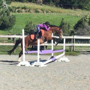Gorgeous all rounder pony club mount