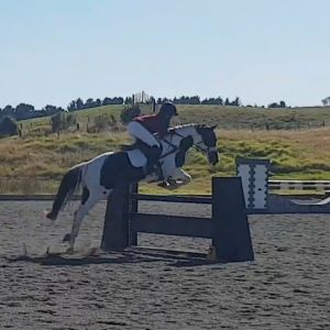 Horse for sale: Full size pony club allrounder